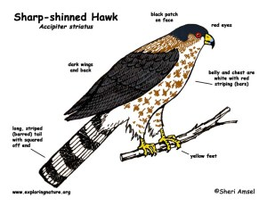 Hawk (Sharpshinned)