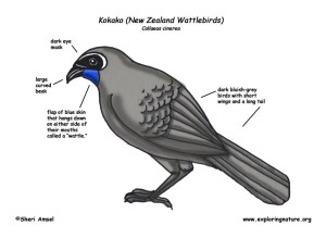 Kokako (New Zealand Wattlebirds)