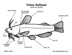 Bullhead (Yellow)