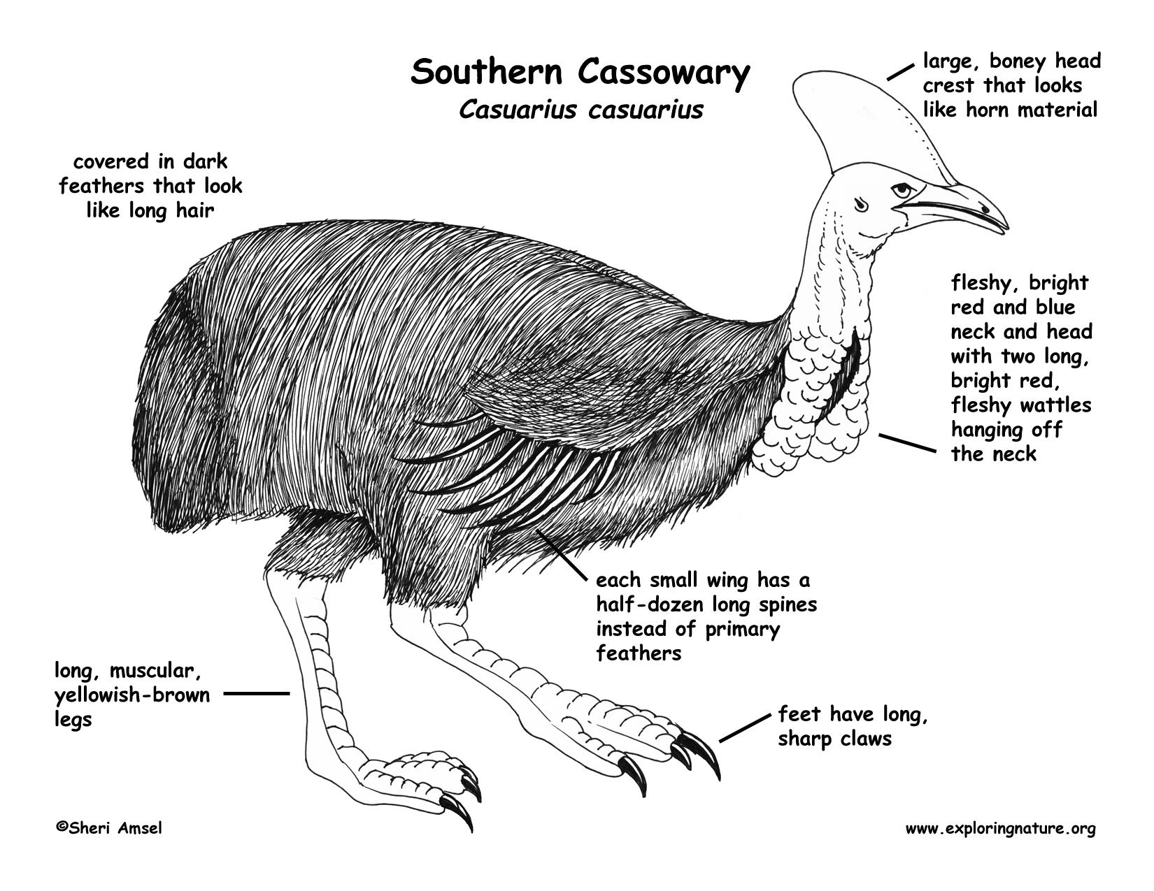 Cassowary Southern