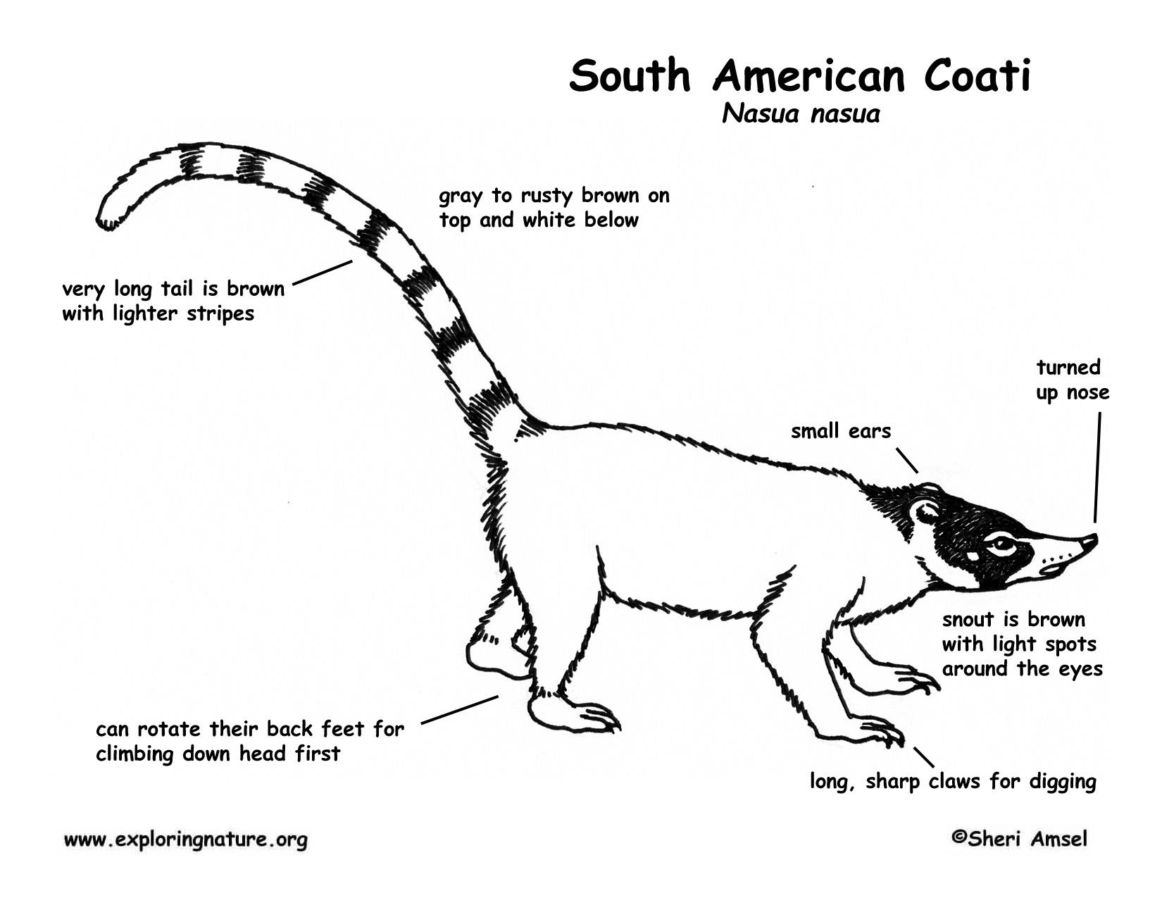 Coati South American