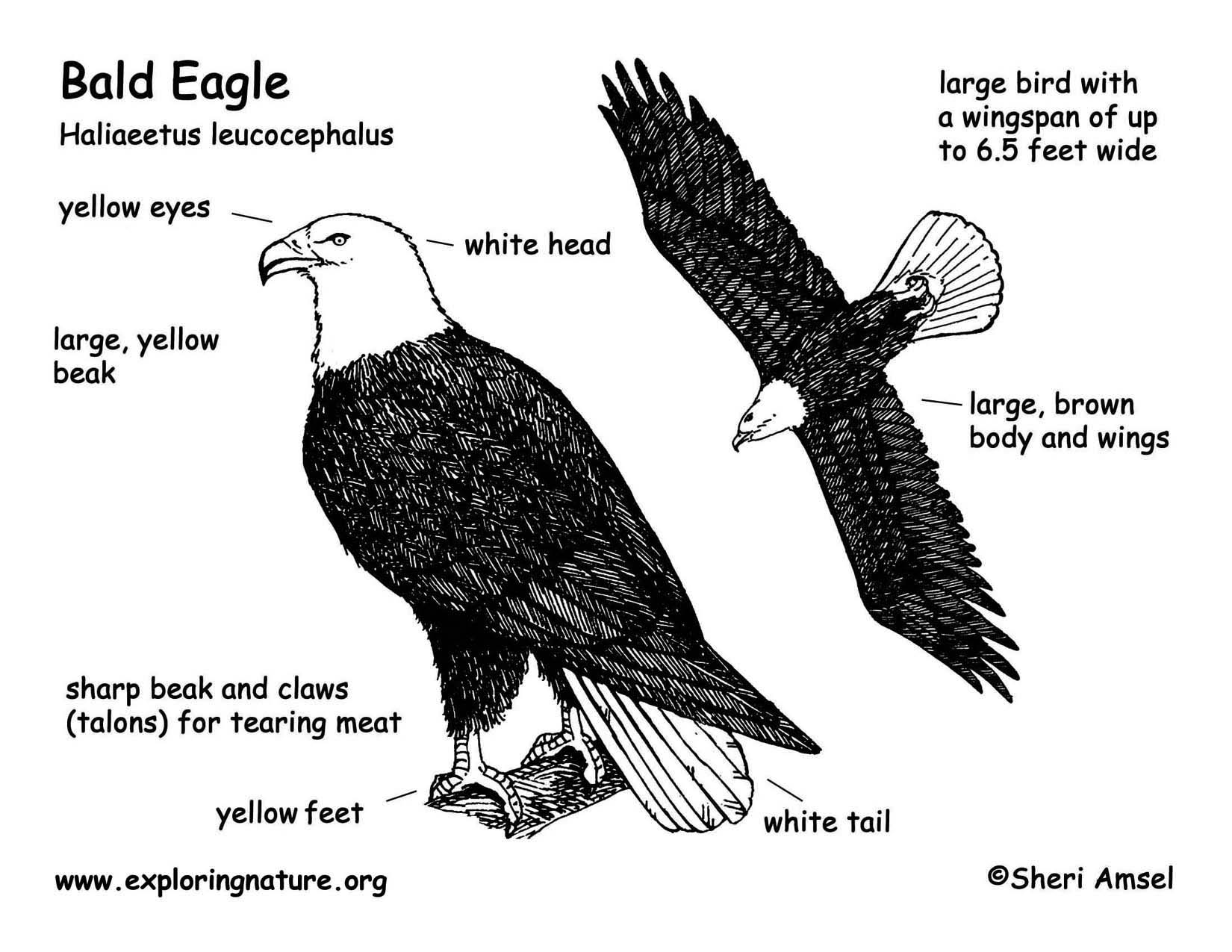 Eagle Anatomy Diagram