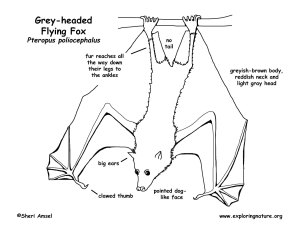 Flying Fox (Greyheaded), Megabat