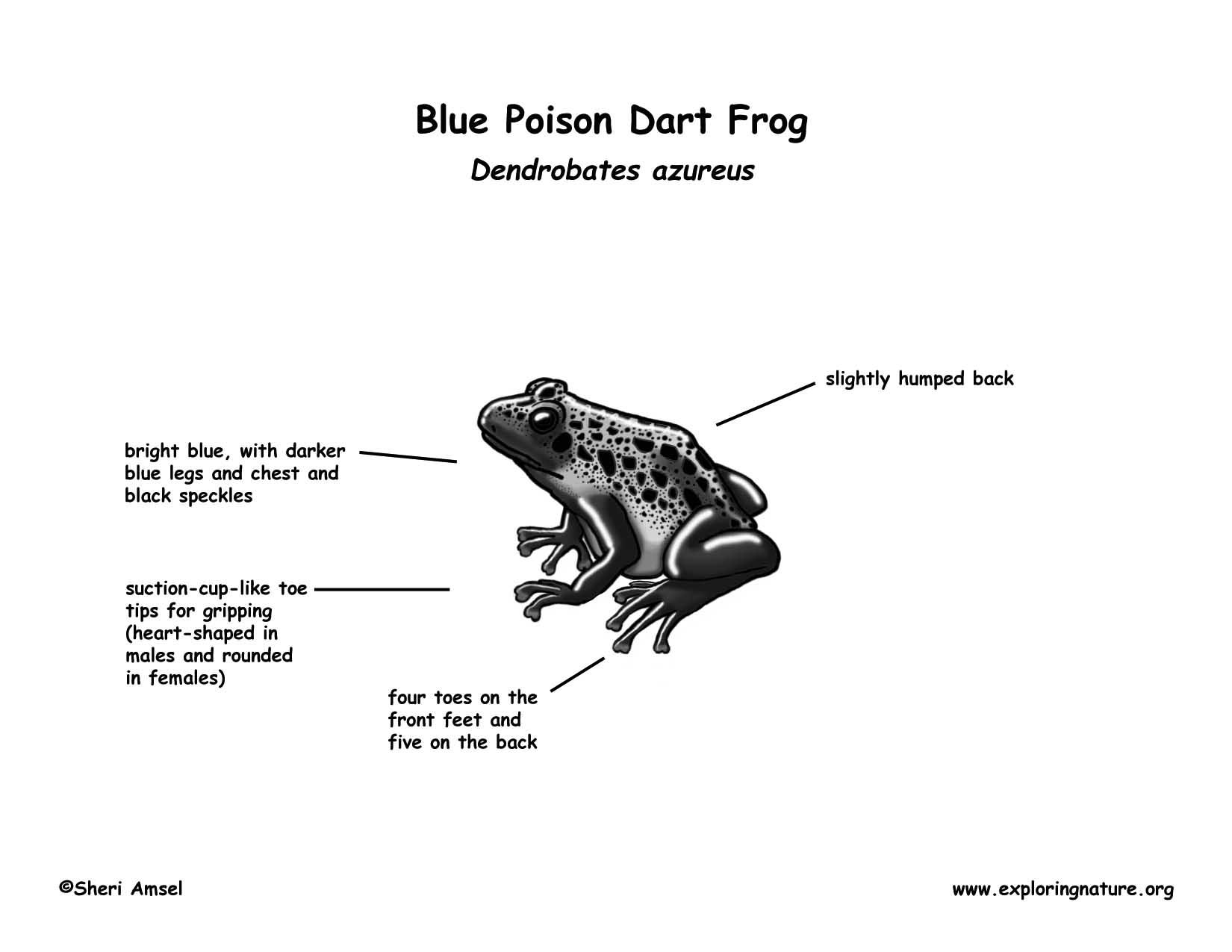 Frog Blue Poison Dart