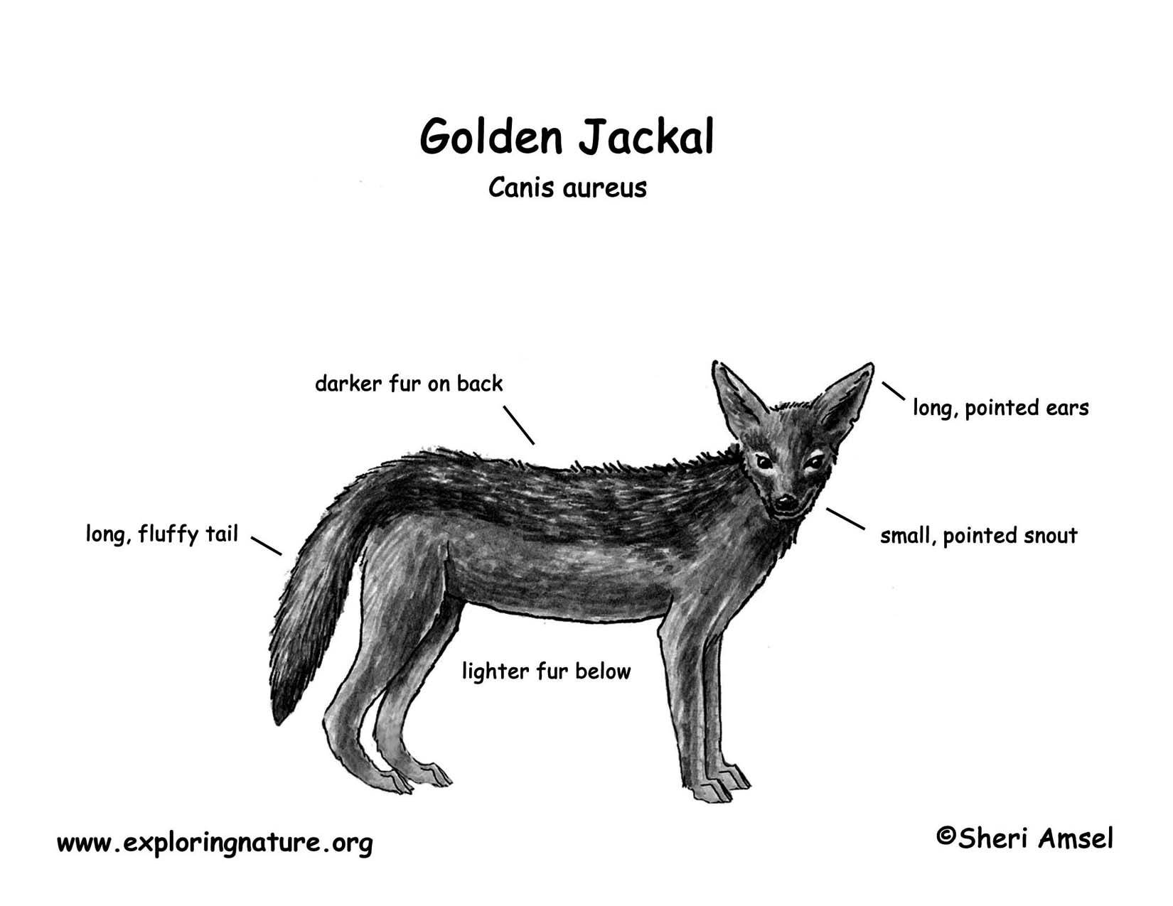 Jackal Golden