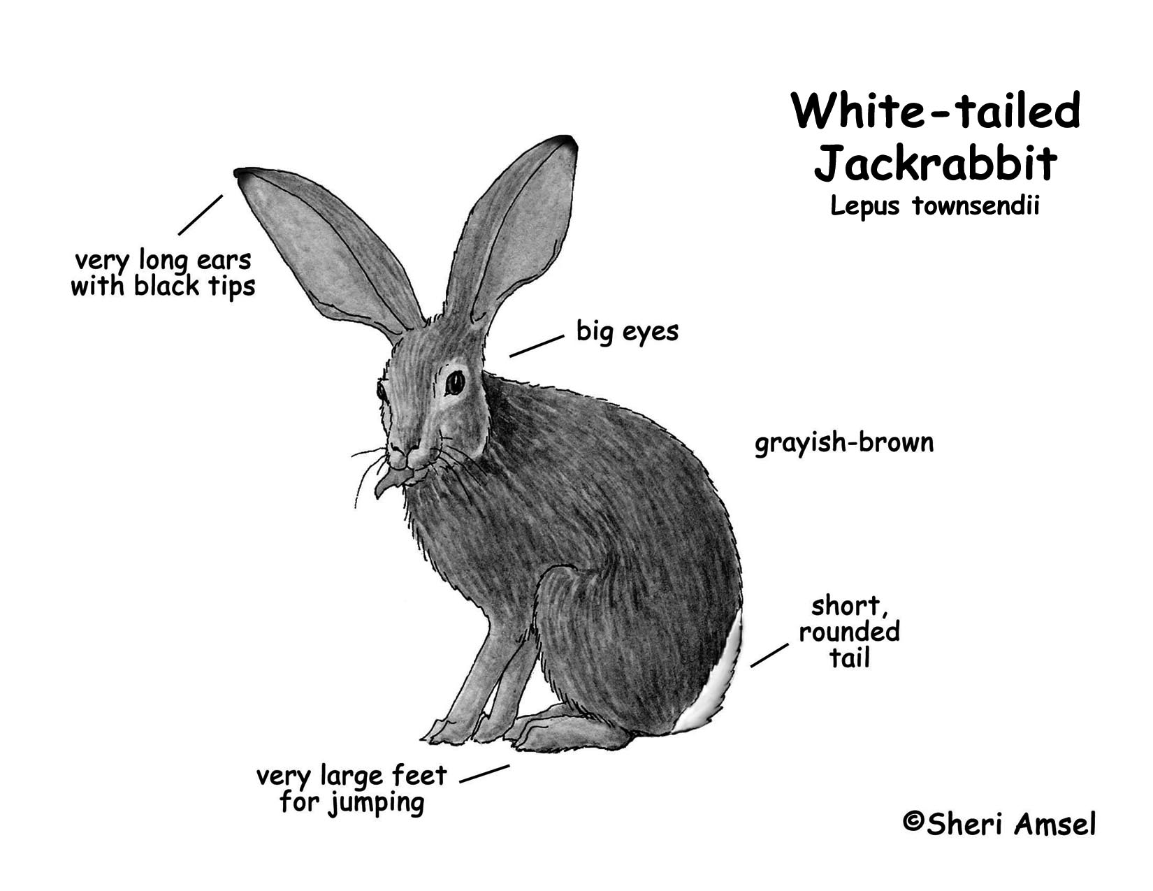Jackrabbit White Tailed