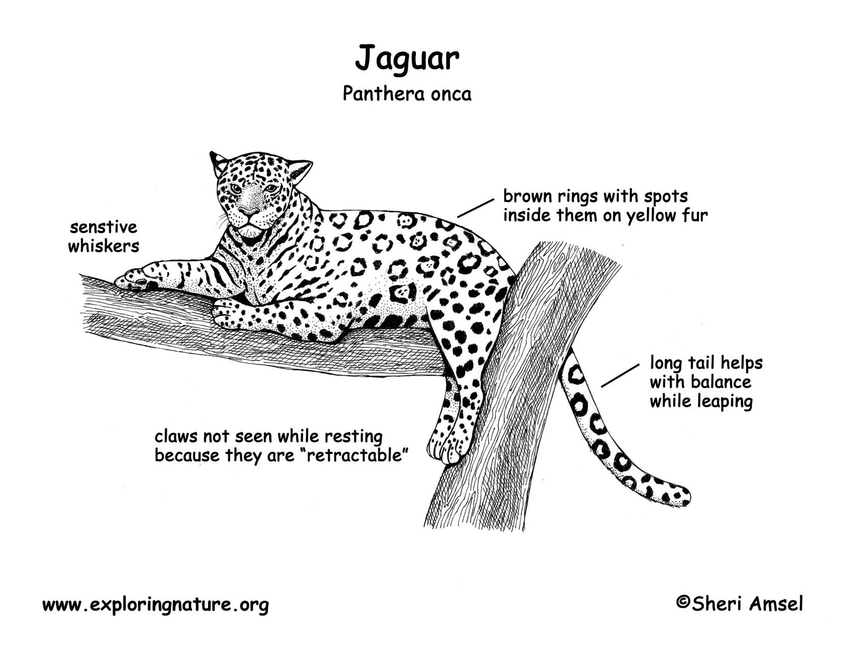 Jaguar Anatomy