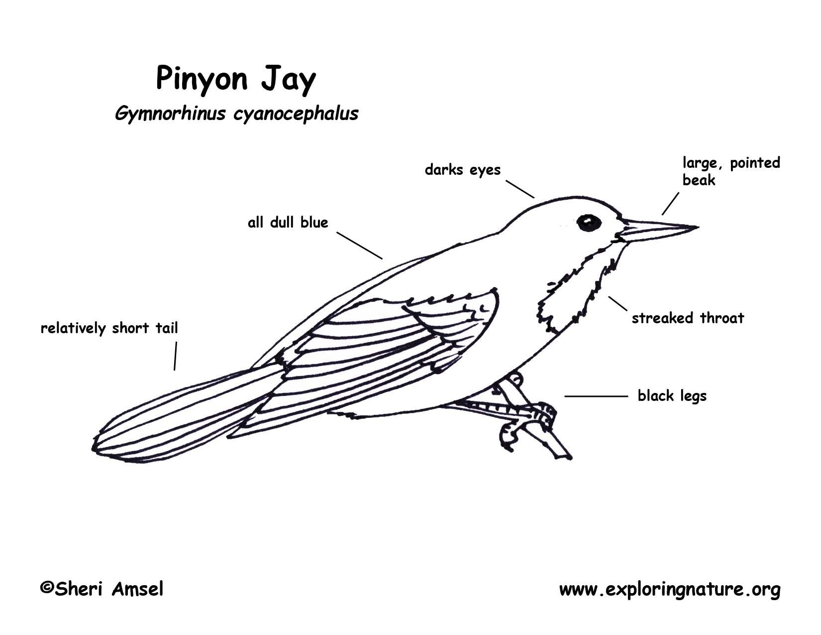Jay Pinyon