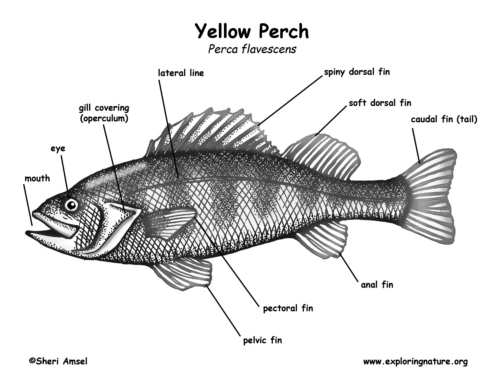 Fish Skeleton Drawing Labeled