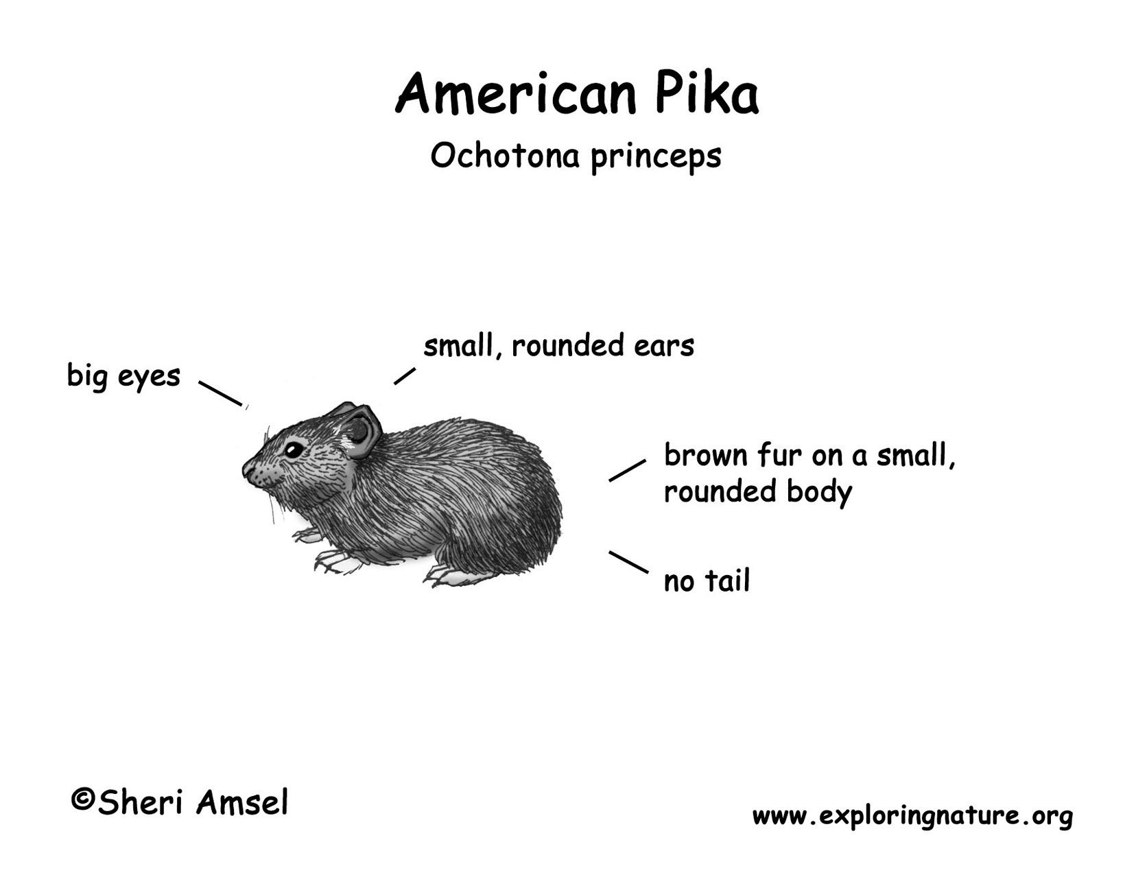 Pika American