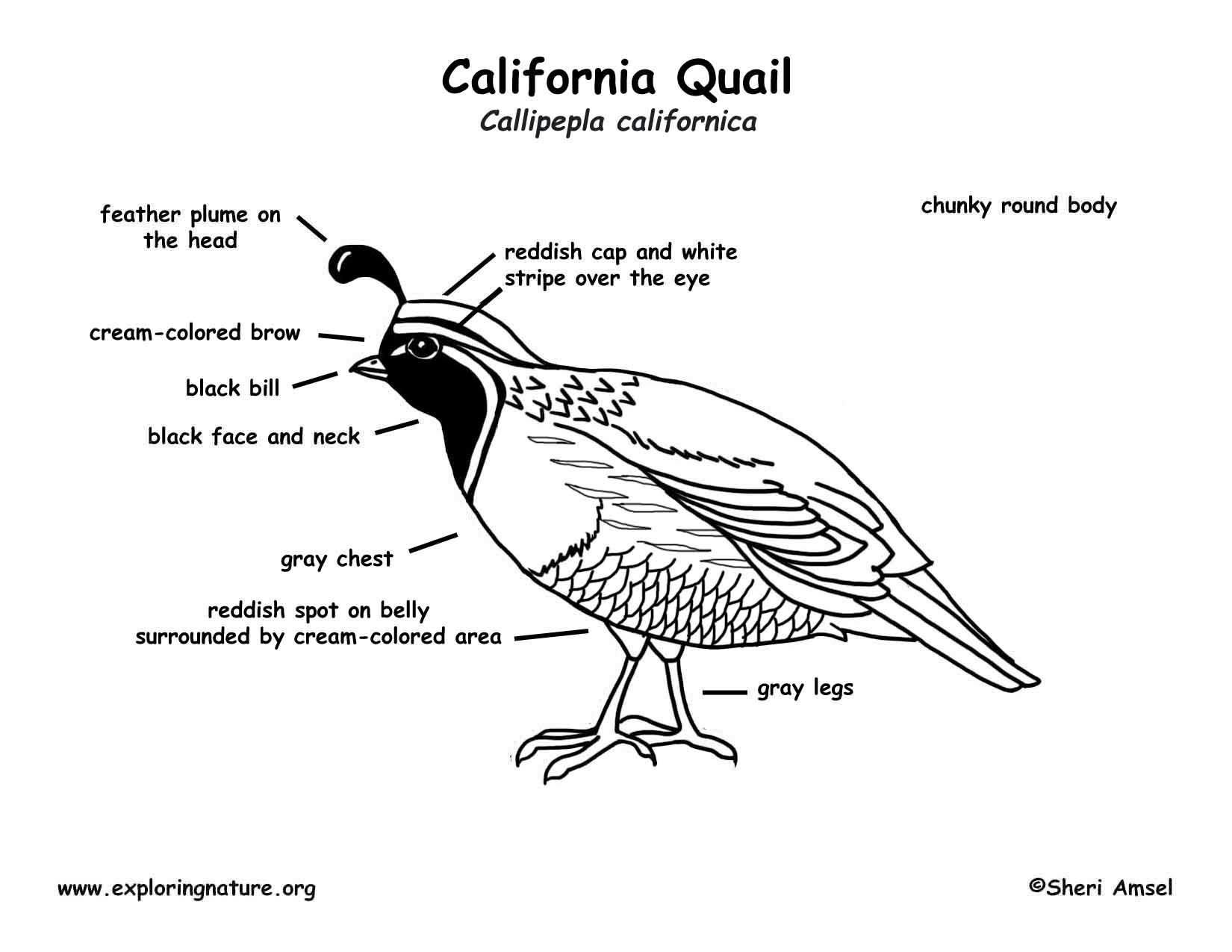 Quail California