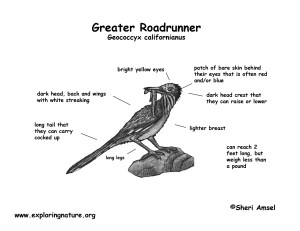 Roadrunner (Greater)