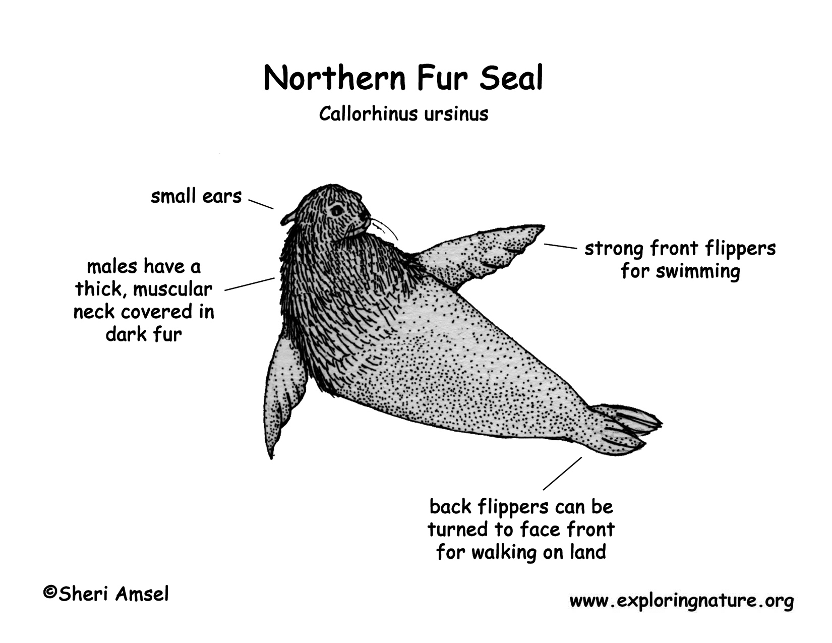 Seal Northern Fur