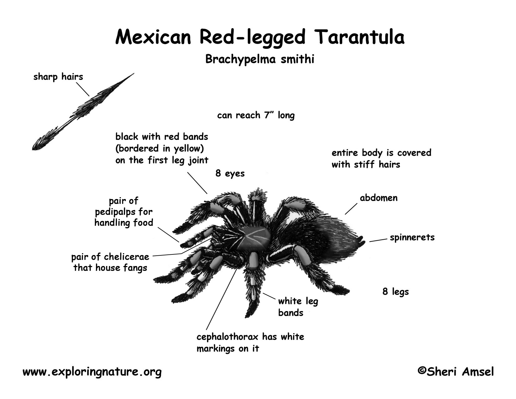 Tarantula Mexican Red Legged
