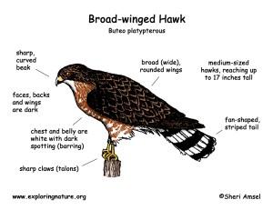 Hawk (Broadwinged)