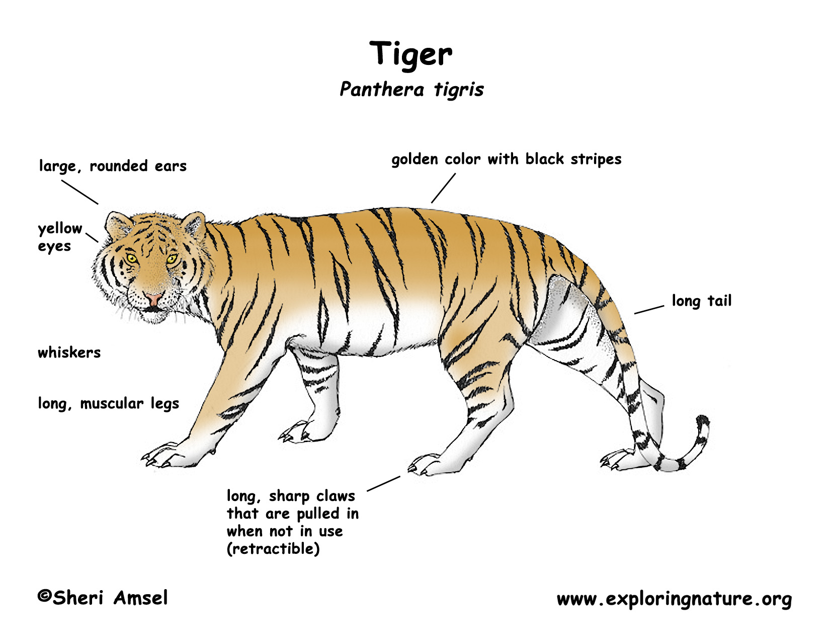 Diagram of a white bengal tiger car wiring diagrams explained physical features of tiger full hd maps locations another world rh picemaps com bengal tiger teeth diagram bengal tiger food chain diagram ccuart Images