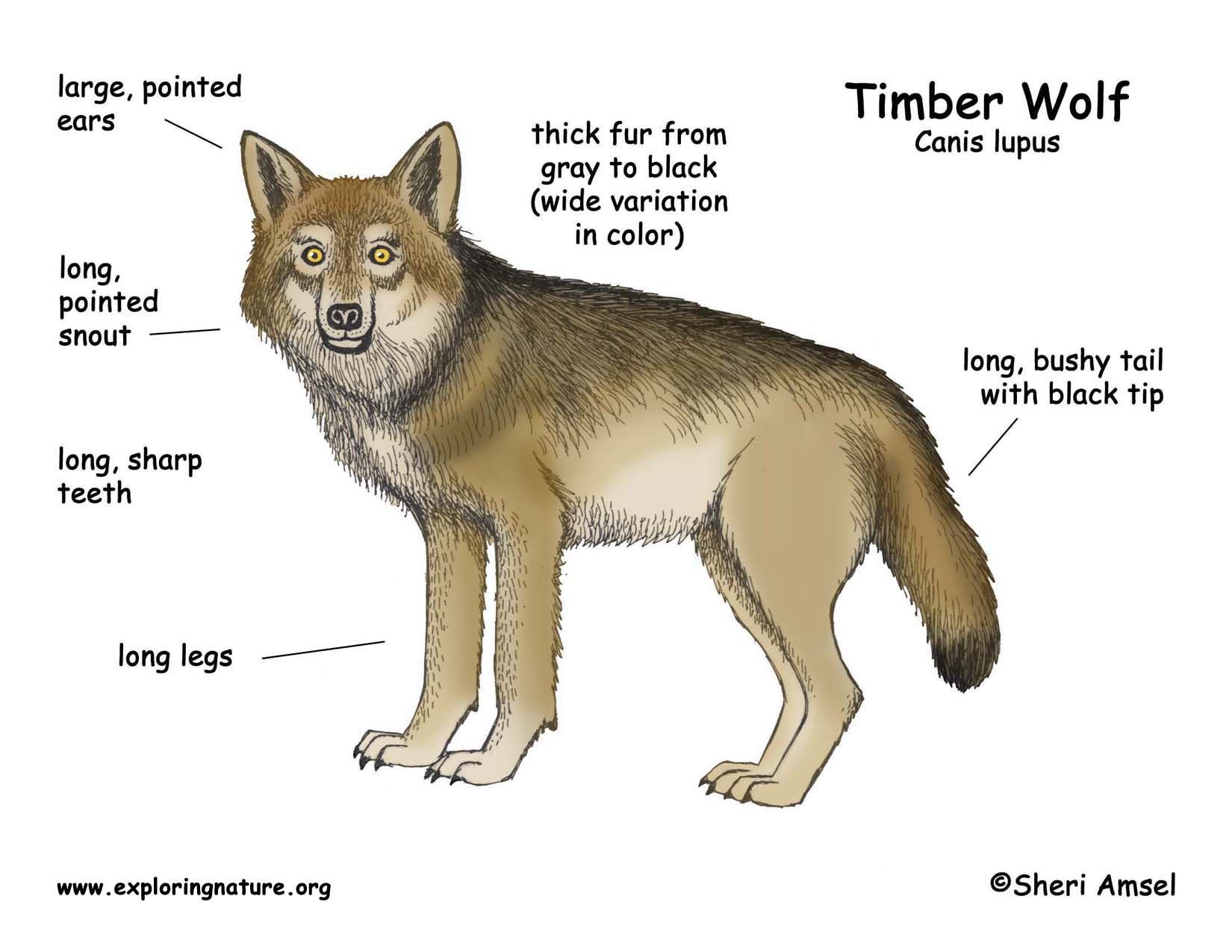 Wolf Timber Wolf Or Gray Wolf