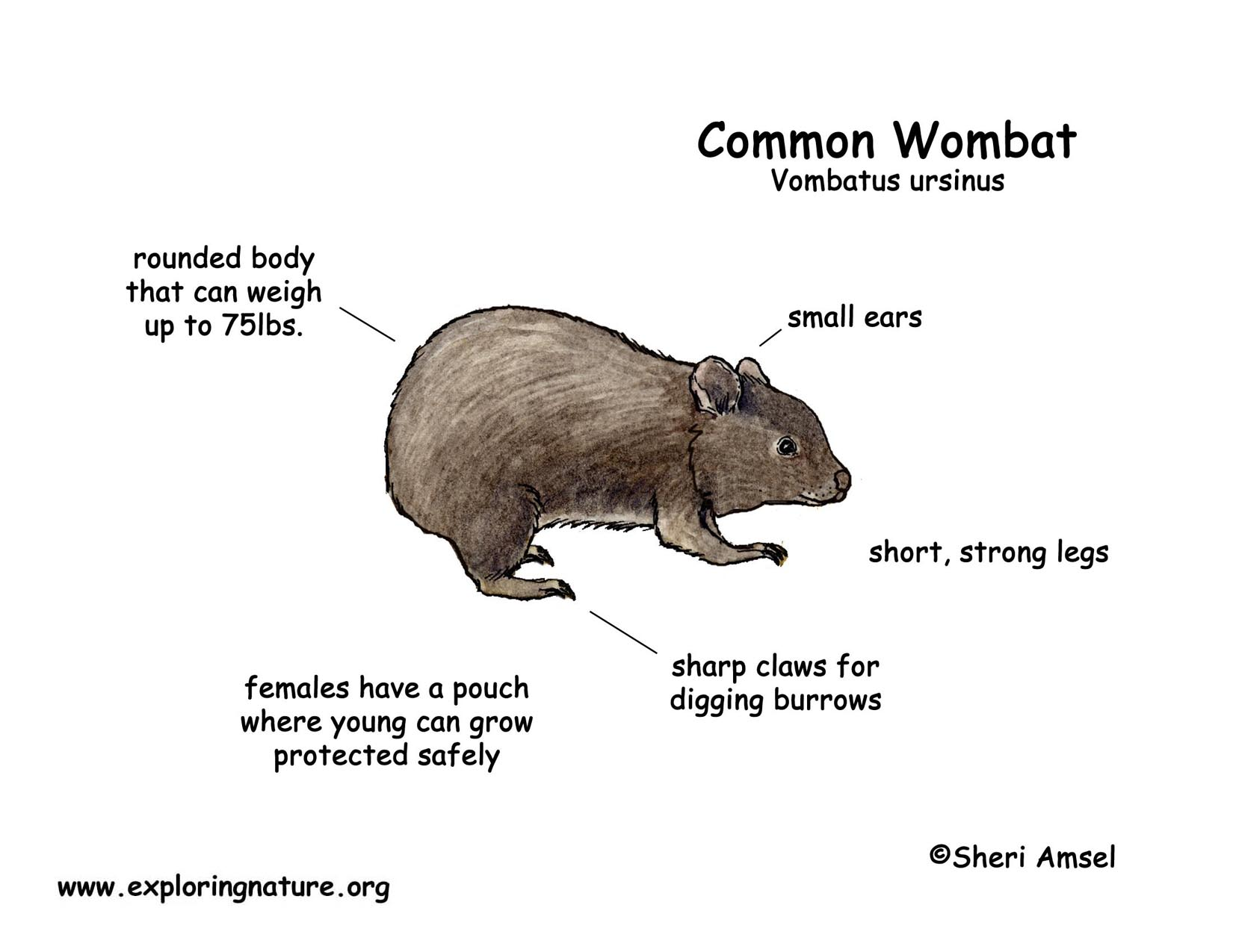 Wombat Common