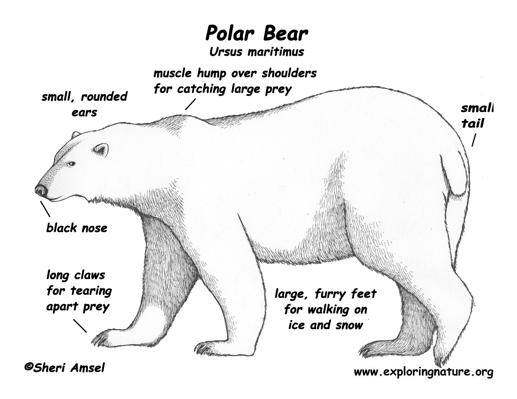 Polar Bear Body Parts Diagram