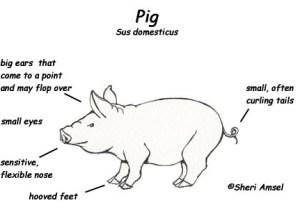 Pig  Exploring Nature Educational Resource