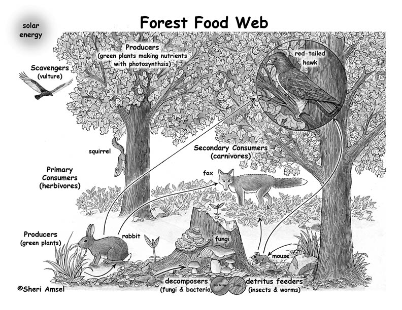 There are only 8 major types of biomes: Forest Food Webs