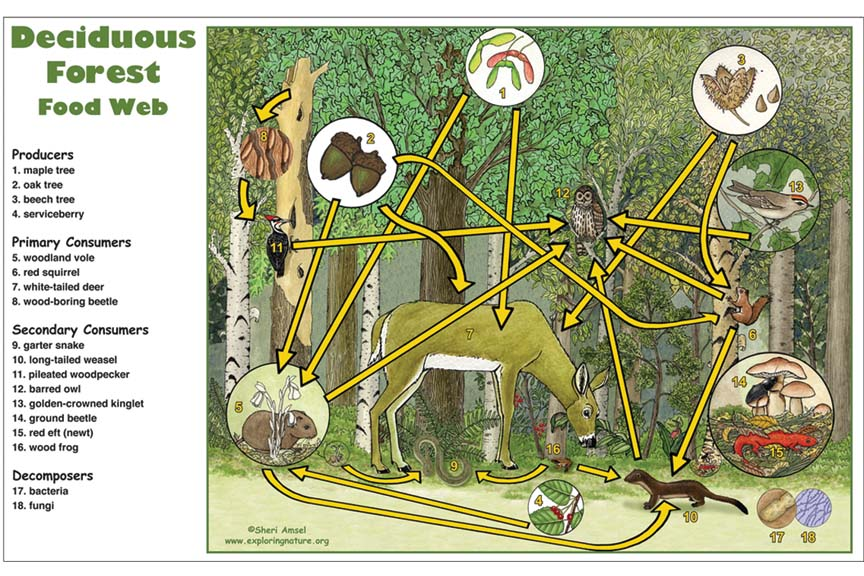 Most dry forests exist in the tropics, where average temperatures. Deciduous Forest Food Web Activity