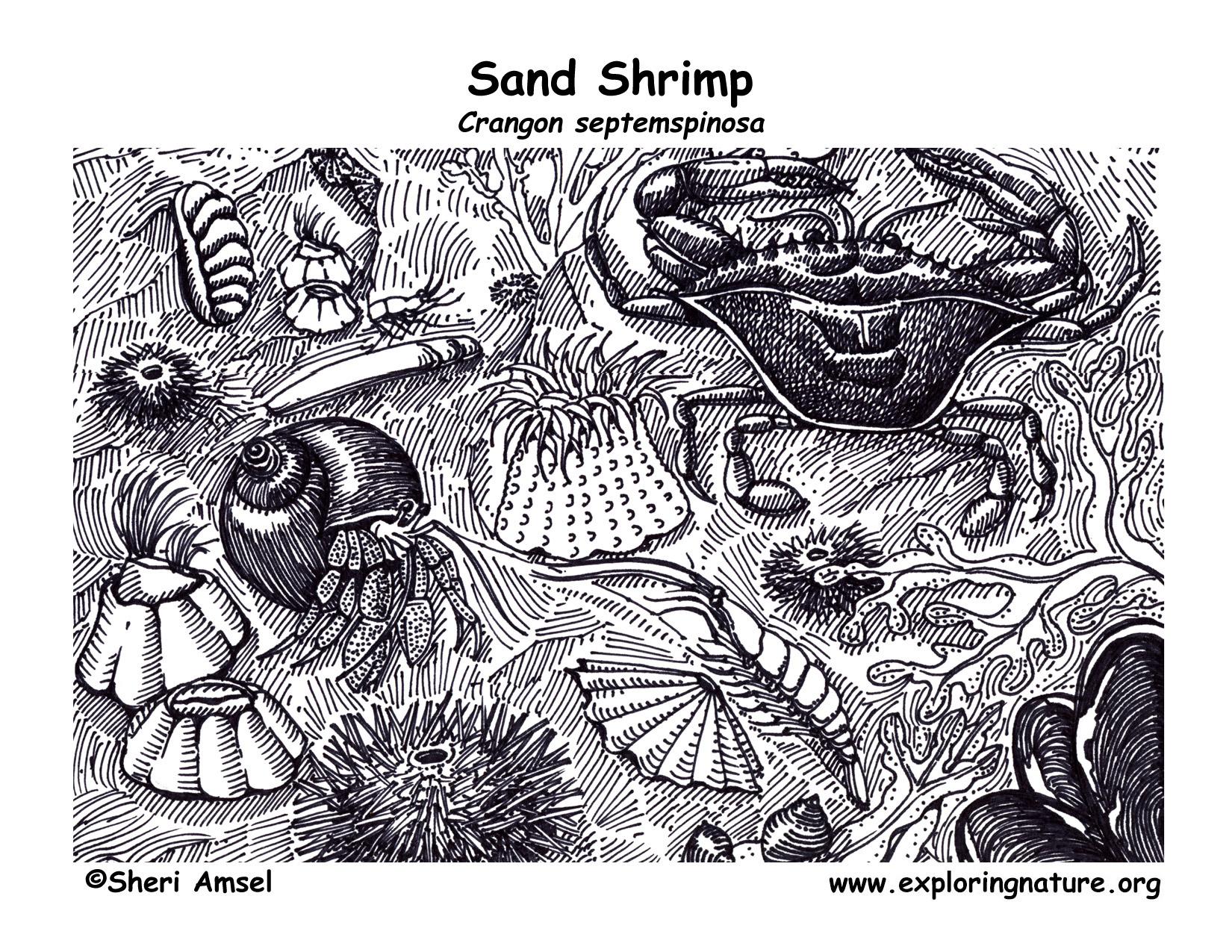 Shrimp Sand