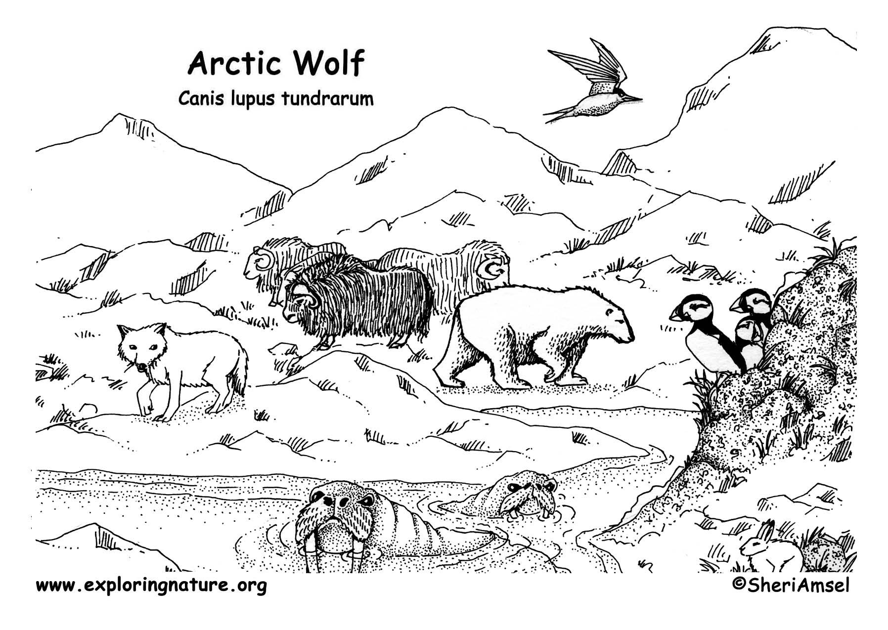 Wolf Arctic