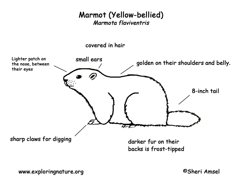 Marmot Yellow Bellied Labeling Page