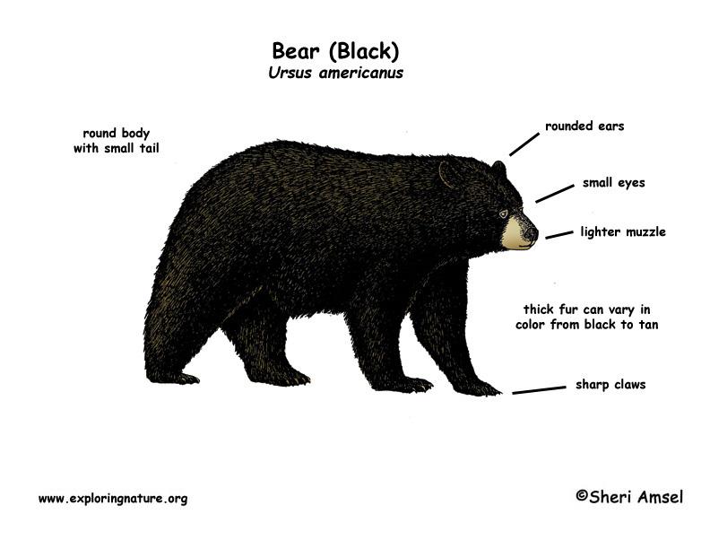 bear_diagram?fit\=450300\&zoom\=2\&strip\=all polar bear body diagram schematic diagrams
