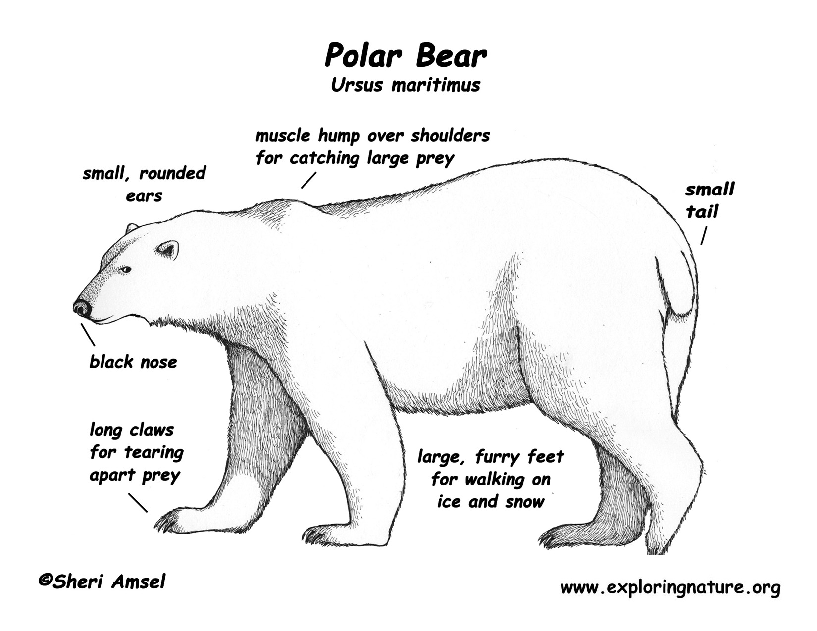 Informational Reading And Writing Class Topic Polar Bears