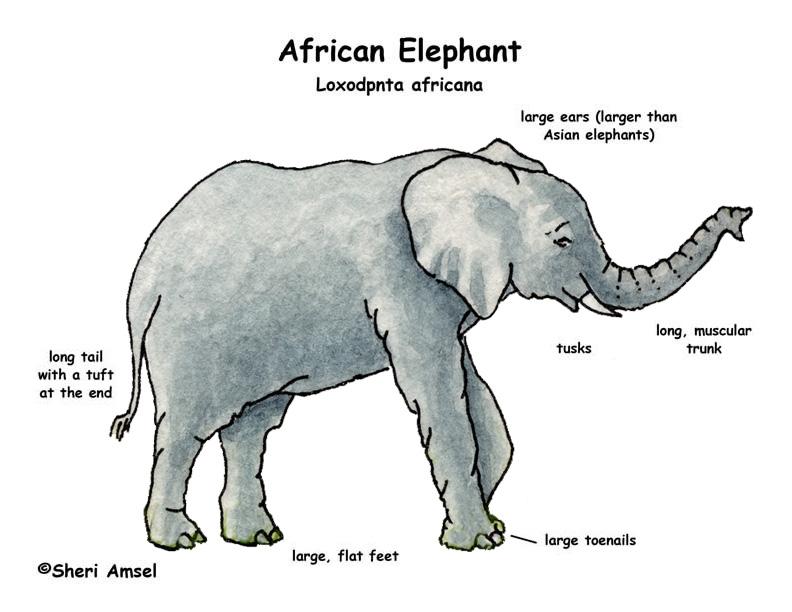 Elephant Anatomy Poster