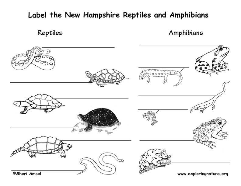 New Hampshire Amphobian
