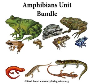 Amphibians Activity Bundle (K5)  Downloadable Only