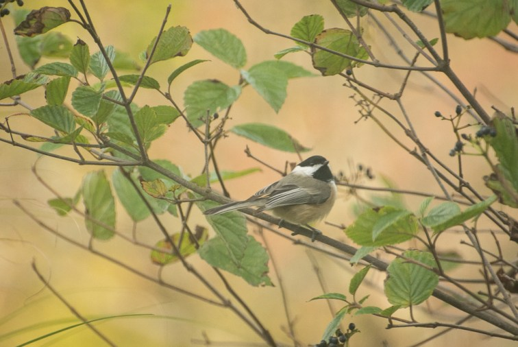 Chickadee in the saftey of the bushes