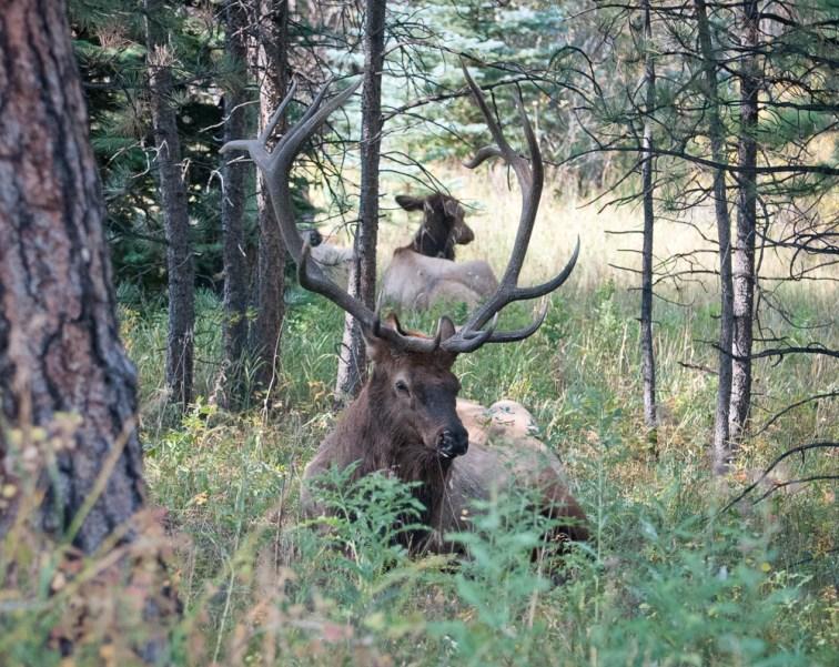 Bull Elk at rest