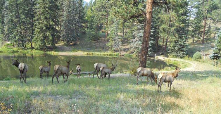 Elk does