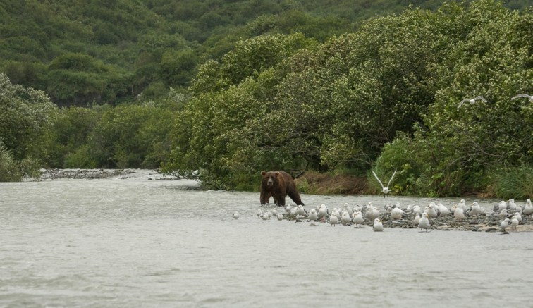 Brown Bear Gray Day (2)