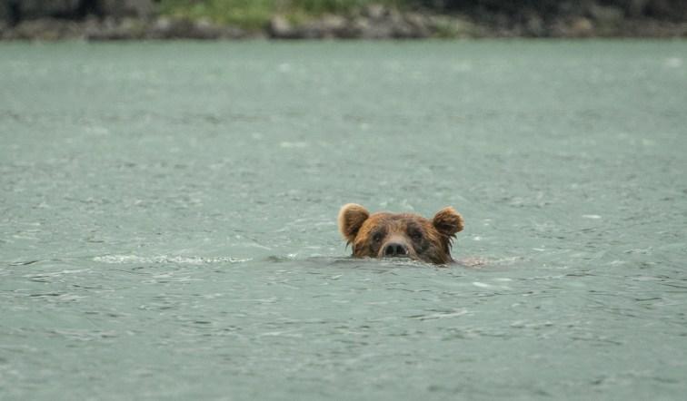 Swimming Bear (1)
