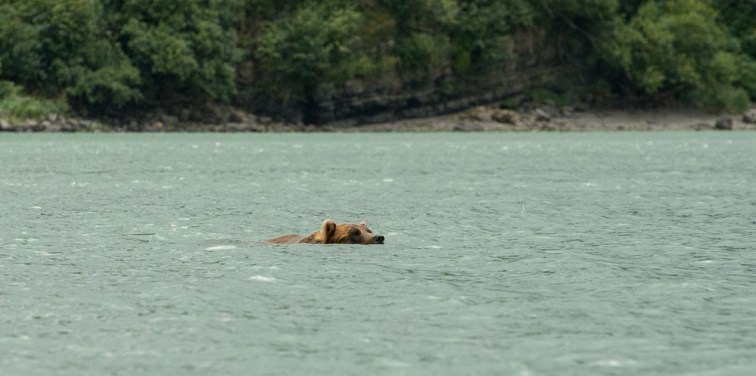 Swimming Bear (2)