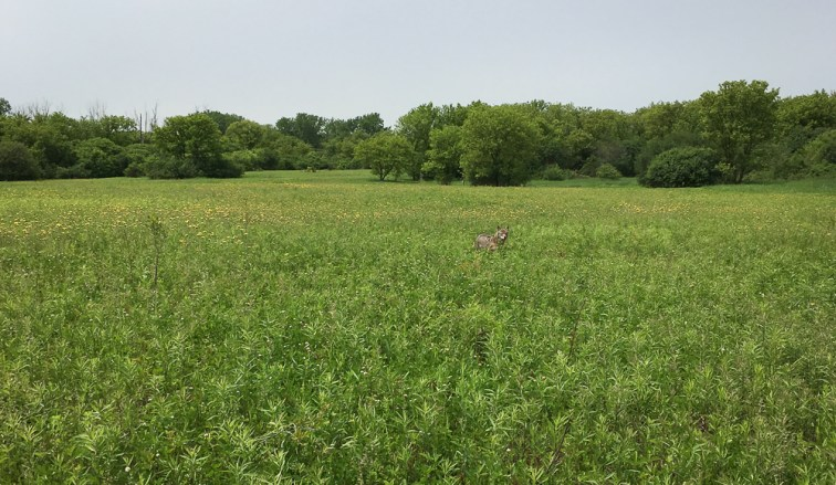suburban coyote closing the distance
