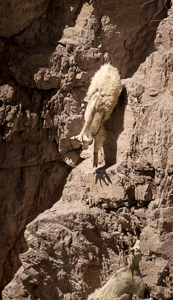 Mountain Goat demonstrated Suction Cup feet