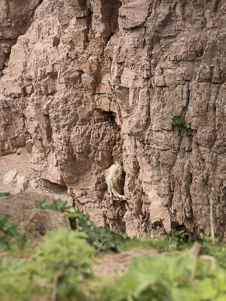 Goat Lick Glacier National Park