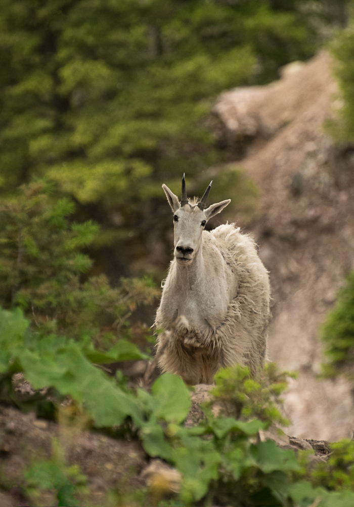 Curious mountain goat