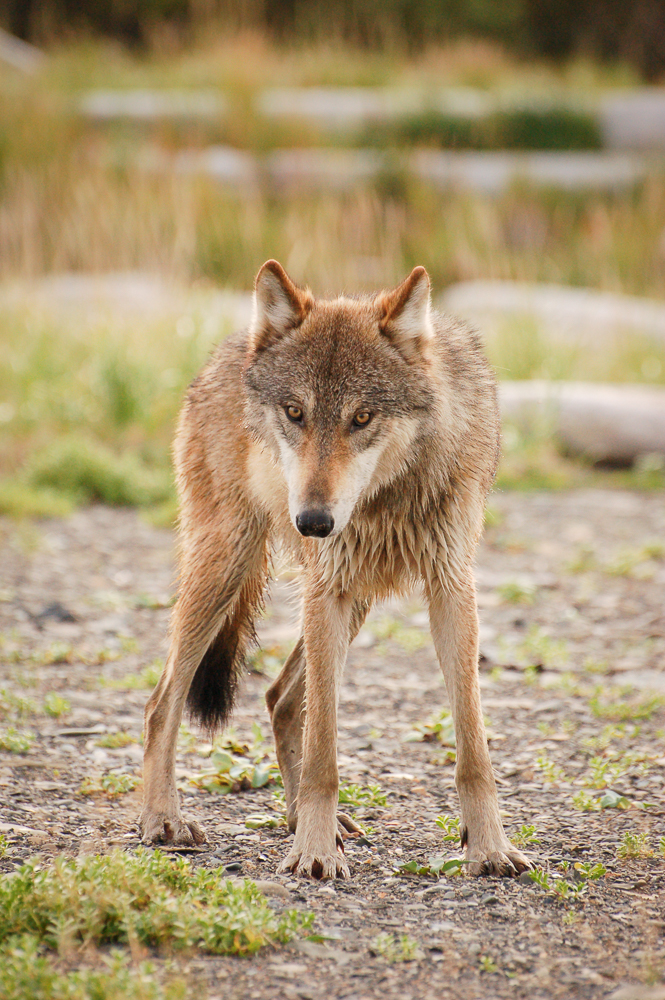 Wild Wolf Picture
