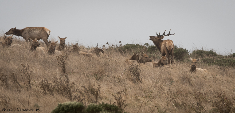 Tule Elk Bull