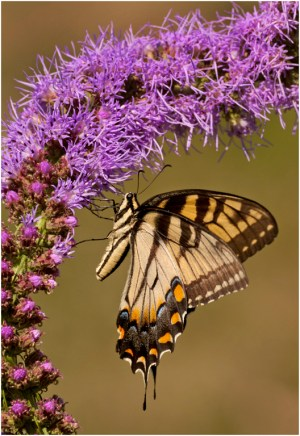 Blazing Swallowtail