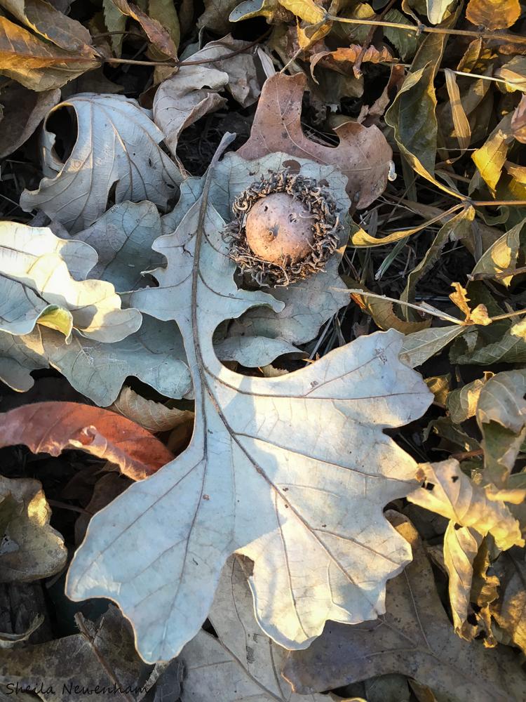 Bur Acorn and Leaf