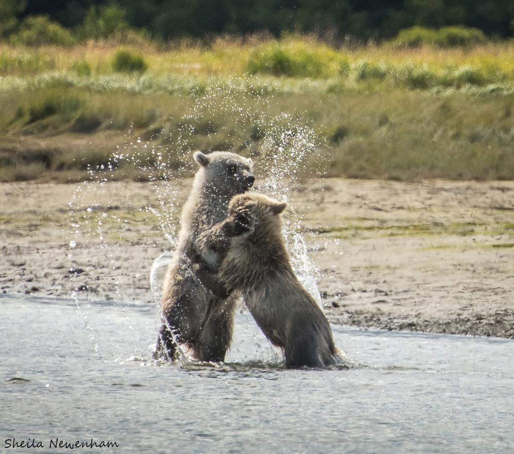 Hallo Bay Bears