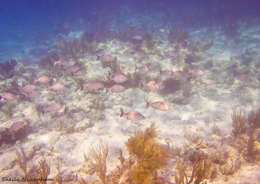 Bermuda Chub